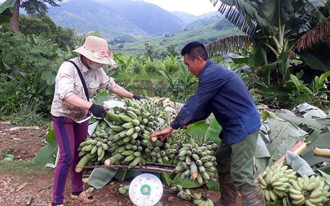 Sản phẩm chuối được xuất khẩu trở lại, tín hiệu vui cho nông sản Lai Châu