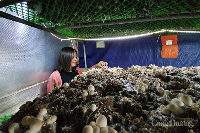 Đà Nẵng: Ứng dụng công nghệ sản xuất nấm rơm hiệu quả cao