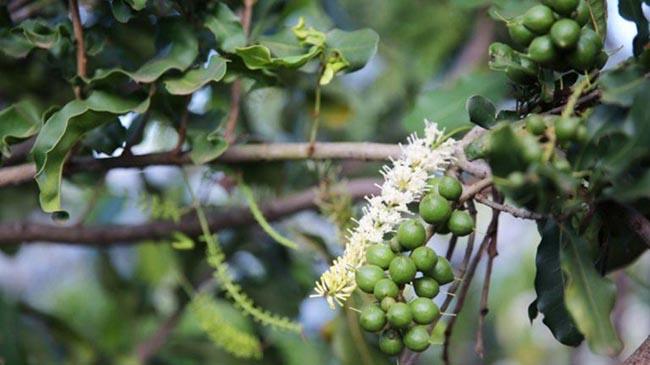 Sơn La: Phát huy thế mạnh cây mắc ca